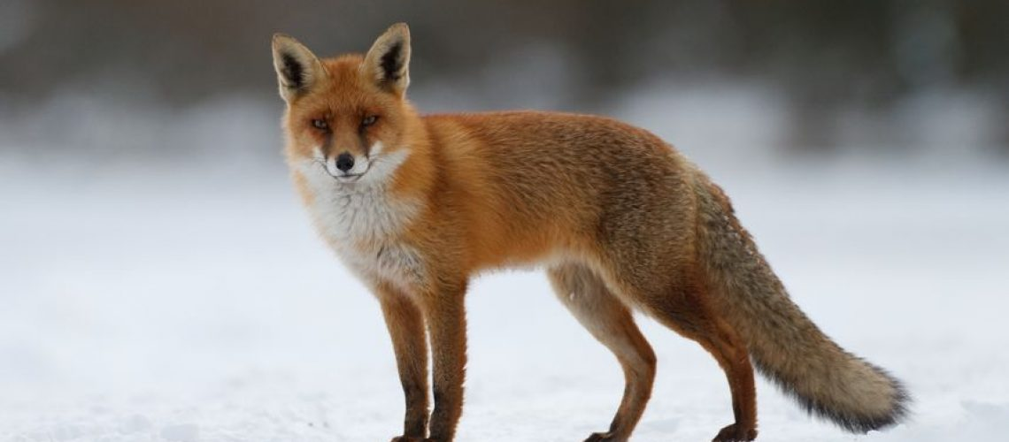 15562644 - red fox in the snow